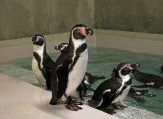 Ten film robi furorę w sieci. Zobacz pingwiny na nowym wybiegu