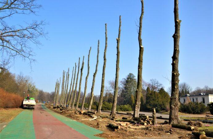 W Parku Śląskim trwa wymiana drzewostanu