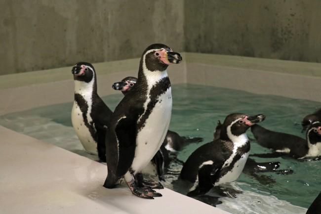 Pierwsze pingwiny są już w ZOO