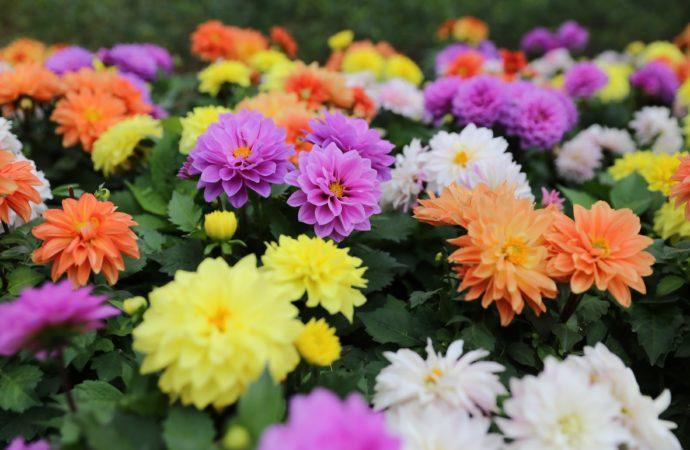 Wsparcie dla ogrodnictw. Rynek wypełni się kwiatami