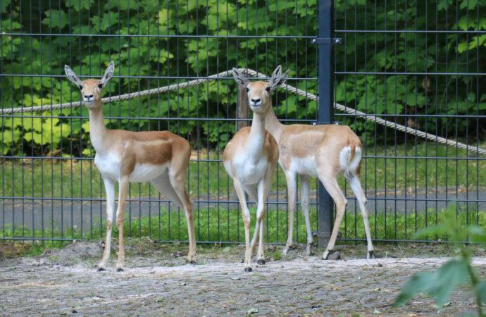 Chorzowskie ZOO ma nowe mieszkanki. To jedyne przedstawicielki gatunku w Polsce